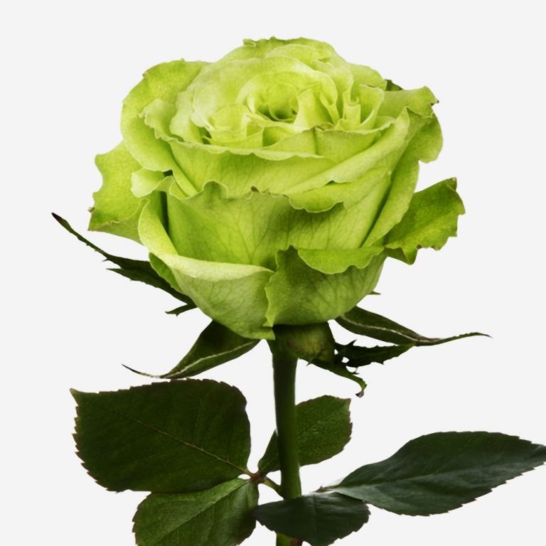 Super Green Rose