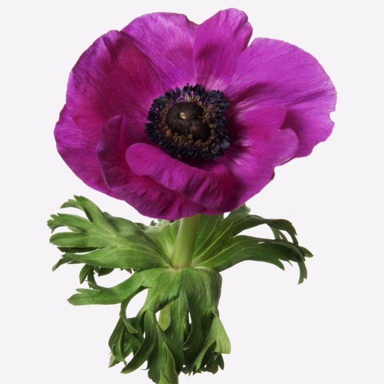 Cerise Anemone Gift | FLOWERBX