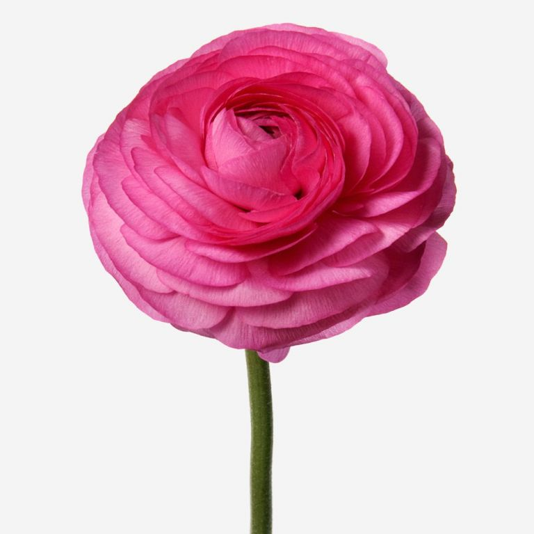 Schiaparelli Pink Italian Ranunculus