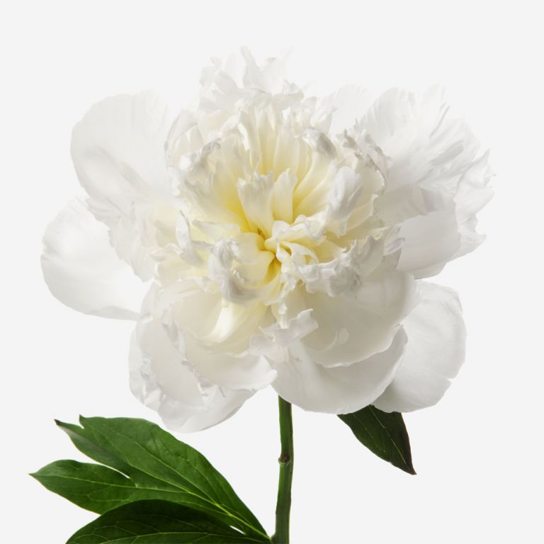 Cotton Cloud Peony