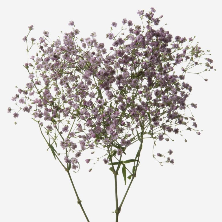 Lavender Kiss Baby's Breath