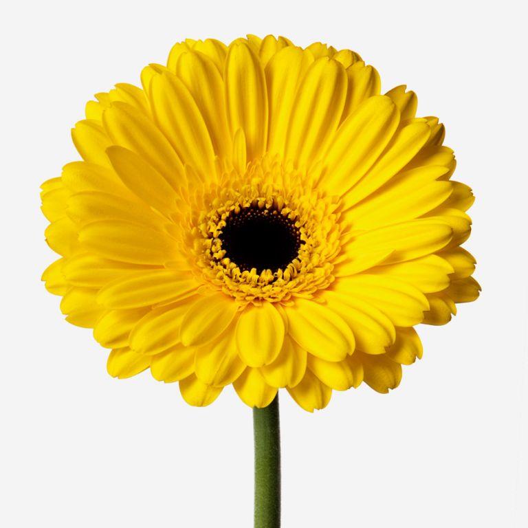 Sunshine Gerbera Daisy
