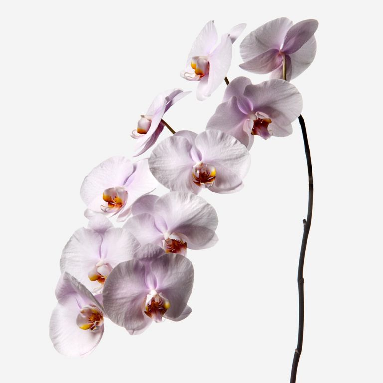 Amaranth Pink Phalaenopsis Cut Orchid