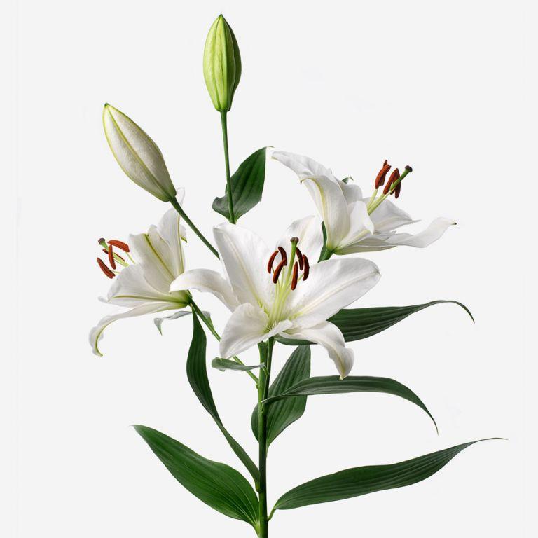 Cloud Nine British Long-Stem Deluxe Lily