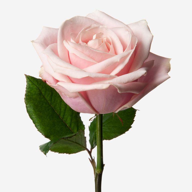 Vase Set Pink Sweet Avalanche Rose