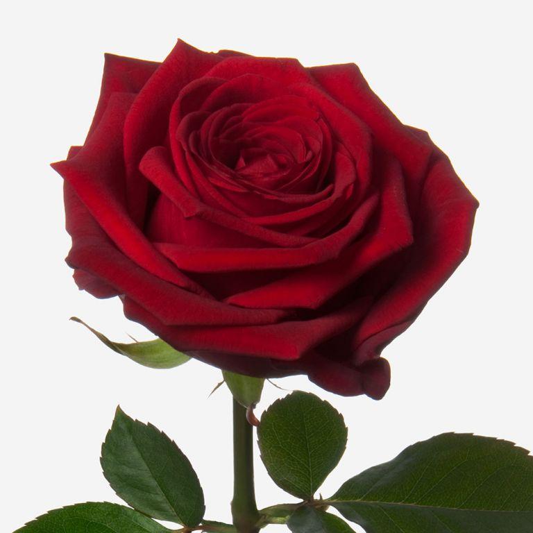 Red Naomi Rose
