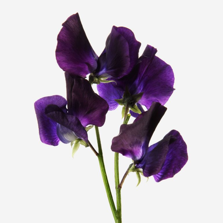 Deep Purple Sweet Pea