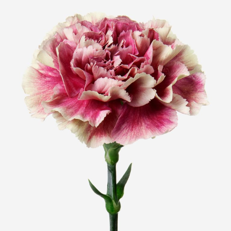 Vase Set Antique Pink Carnation