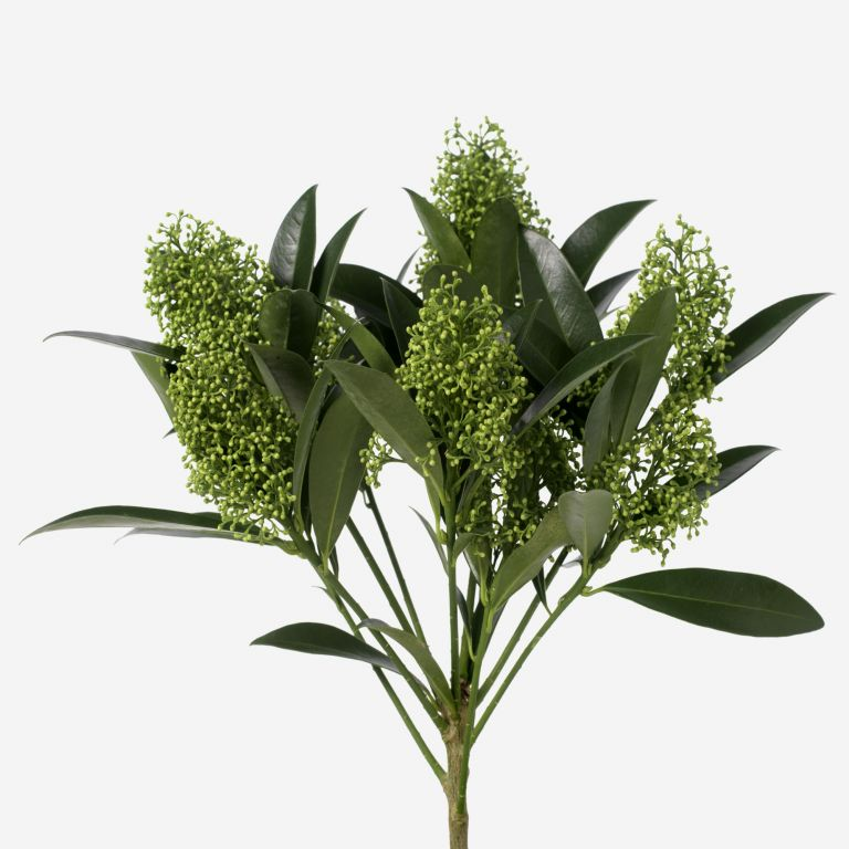 Skimmia du Japon Green