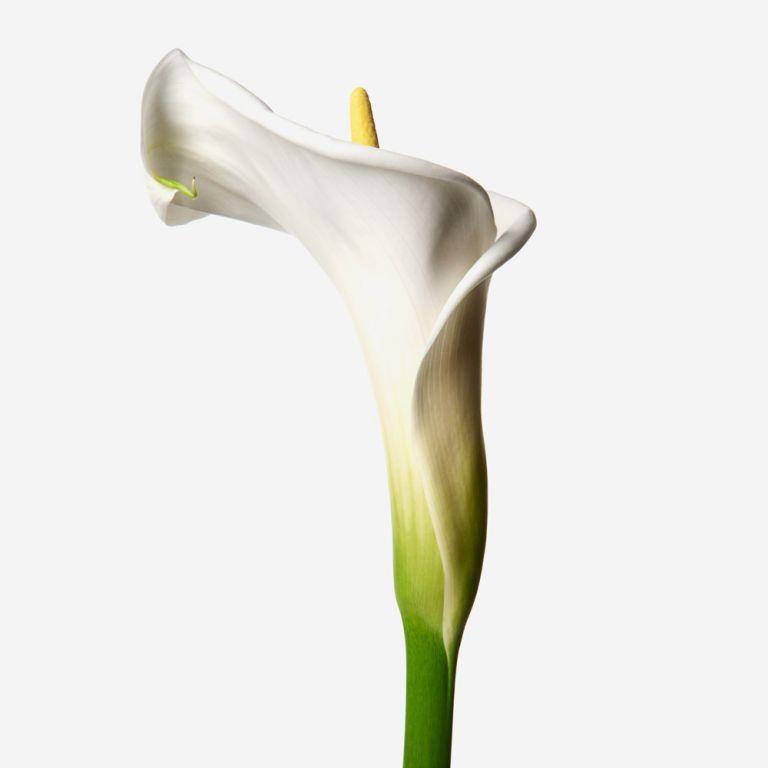 White Dove Arum Lily