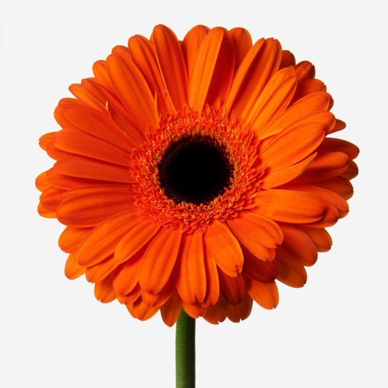 Atomic Tangerine Gerbera Daisy