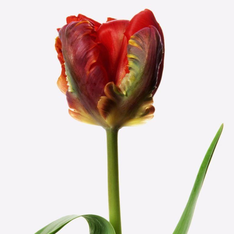 Rococo Parrot Tulip