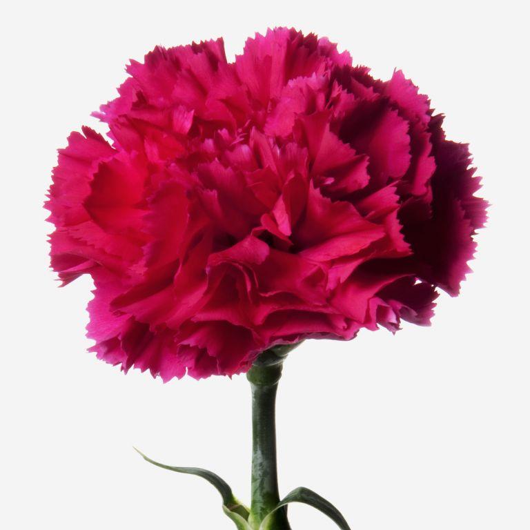 Fiery Pink carnation