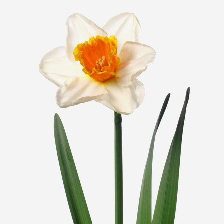 Over Easy Daffodil and Bailey Bud Vase Set