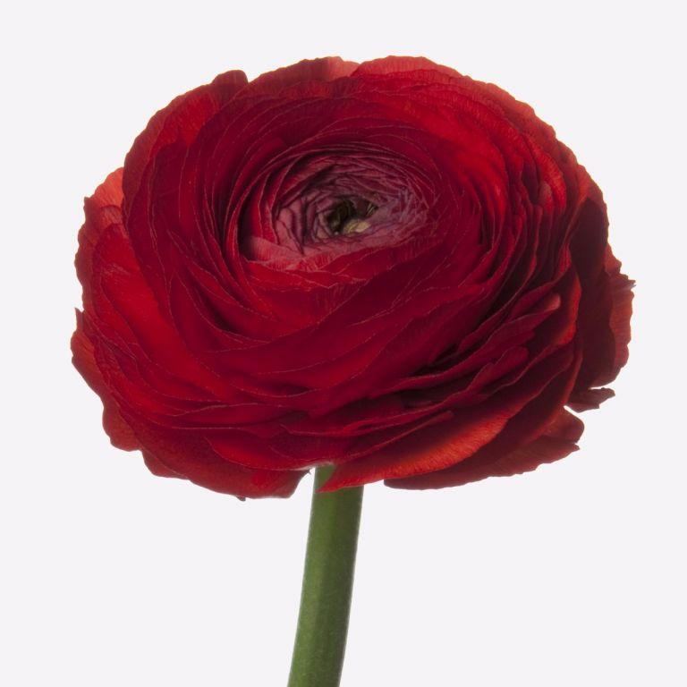 Red Velvet Italian Ranunculus