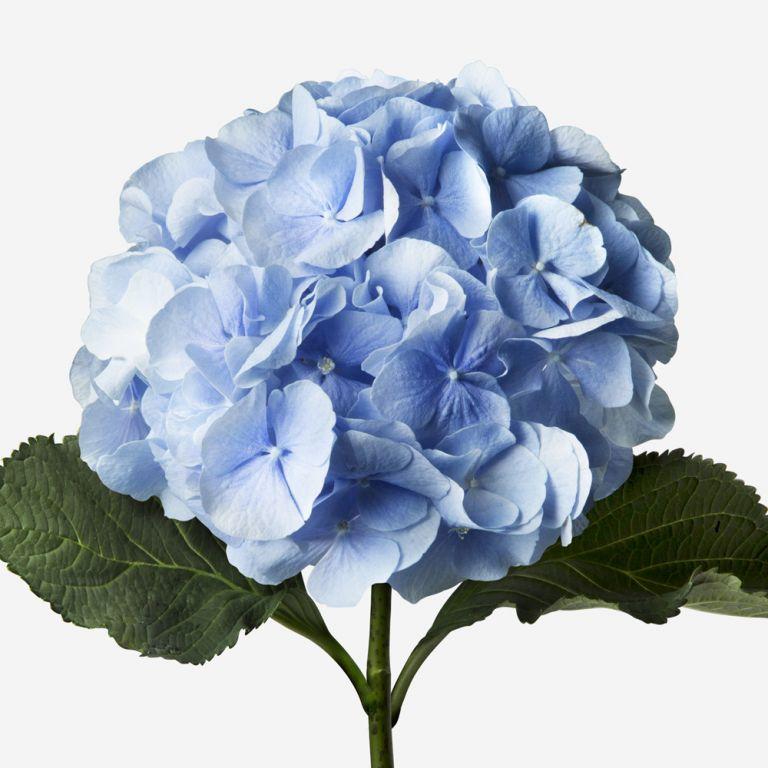 Baby Blue Hydrangea