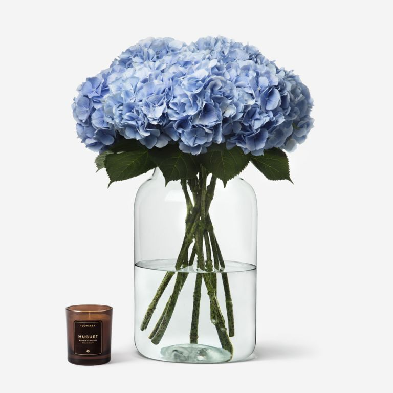 Hortensia Baby Blue