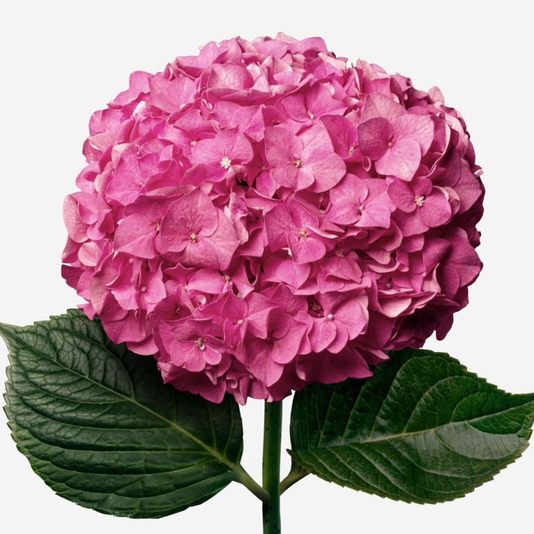 Hortensia Cherry Crush