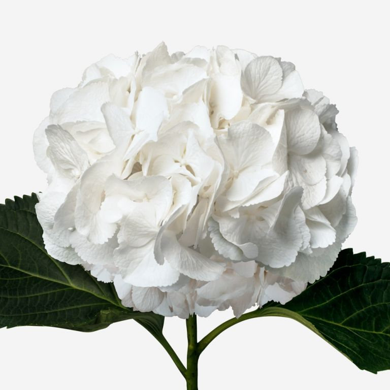 Hortensia Cloud White