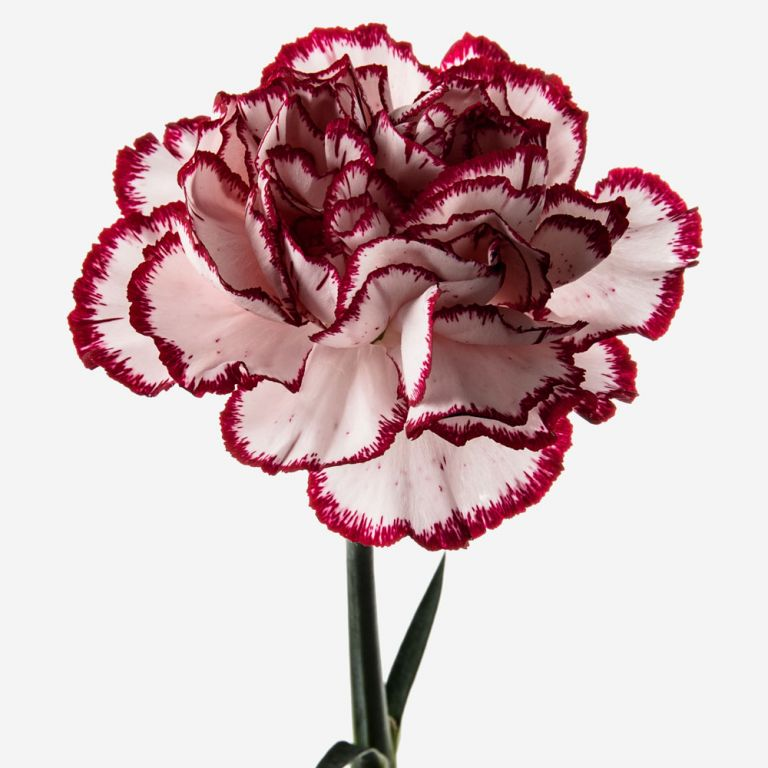 Candy Cane Carnation