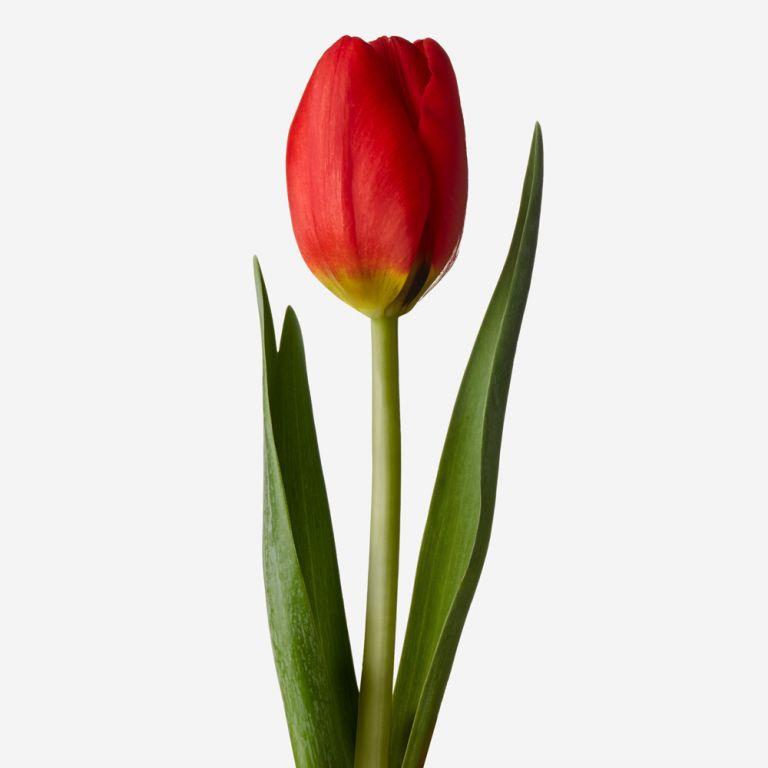 Double Decker Red British Tulip