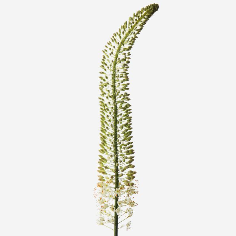 Wispy White Foxtail Lily