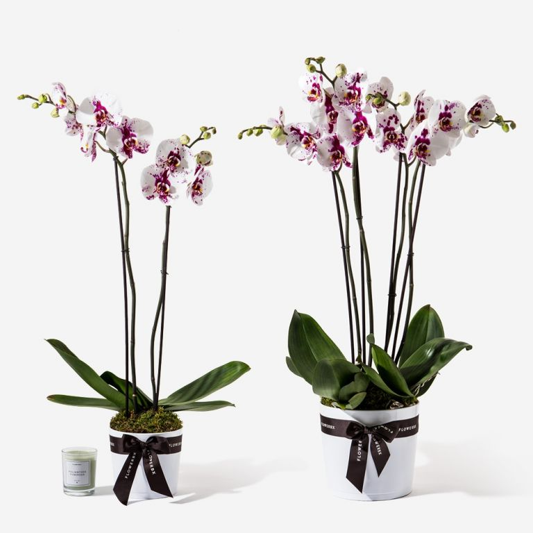 Blotted Ink Orchid Plant