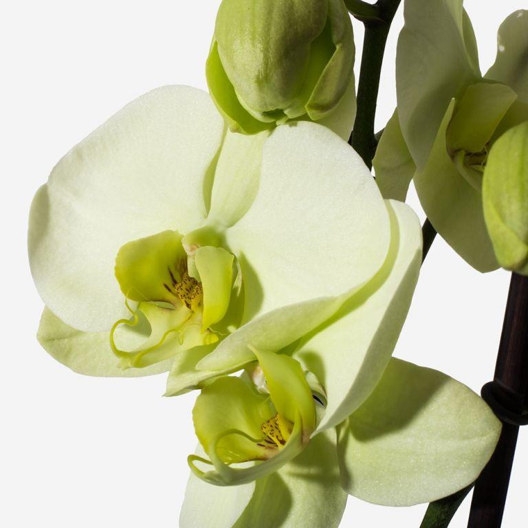 Buttermilk Orchid Plant