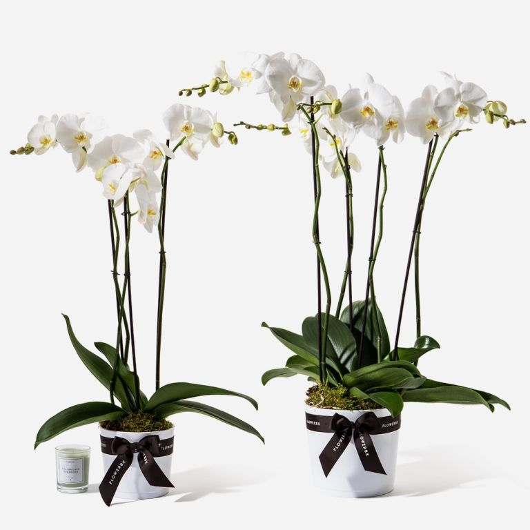 Electric White Orchid Plant