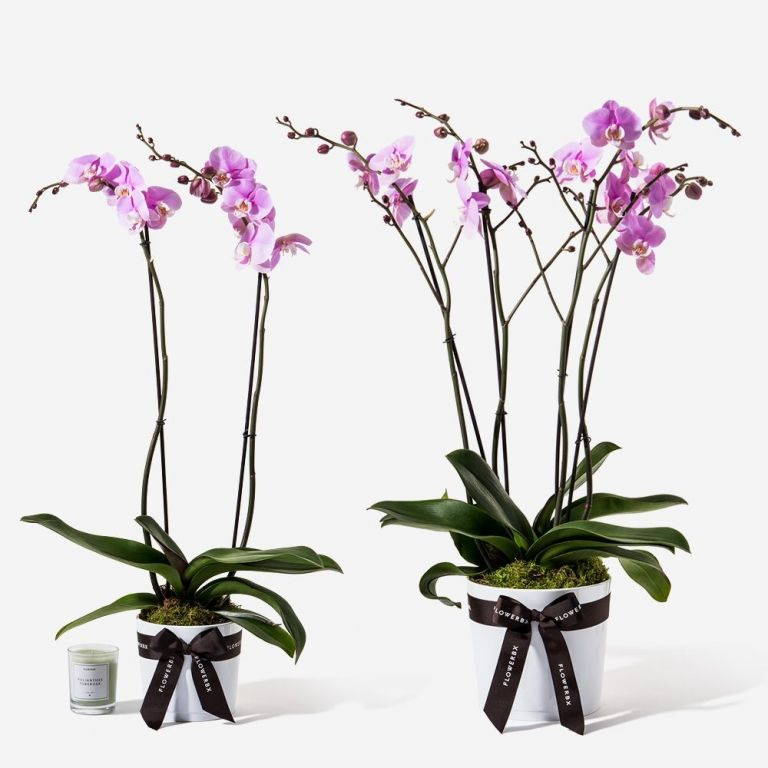 Lady Pink Orchid Plant