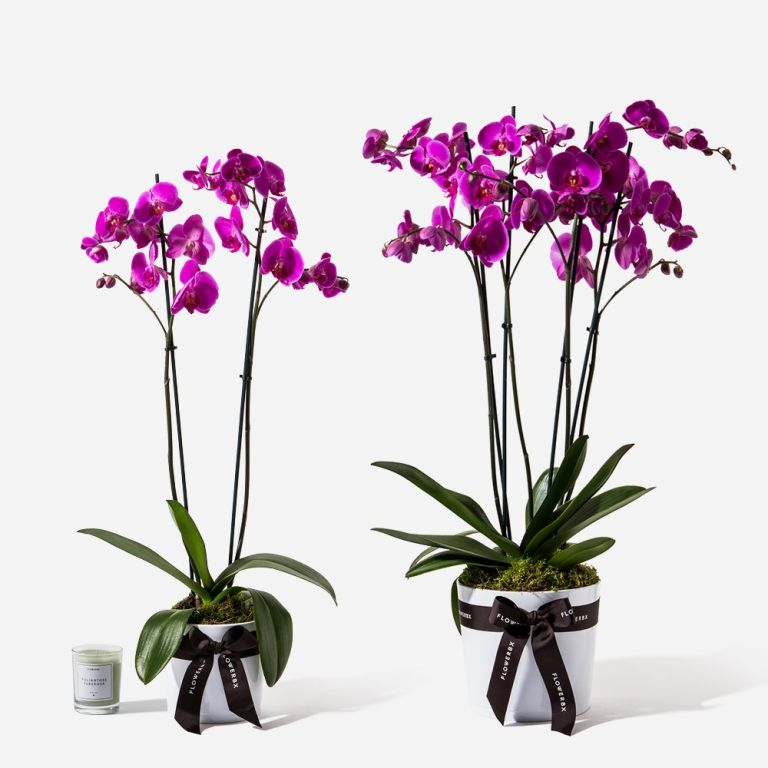 Pink Magic Orchid Plant