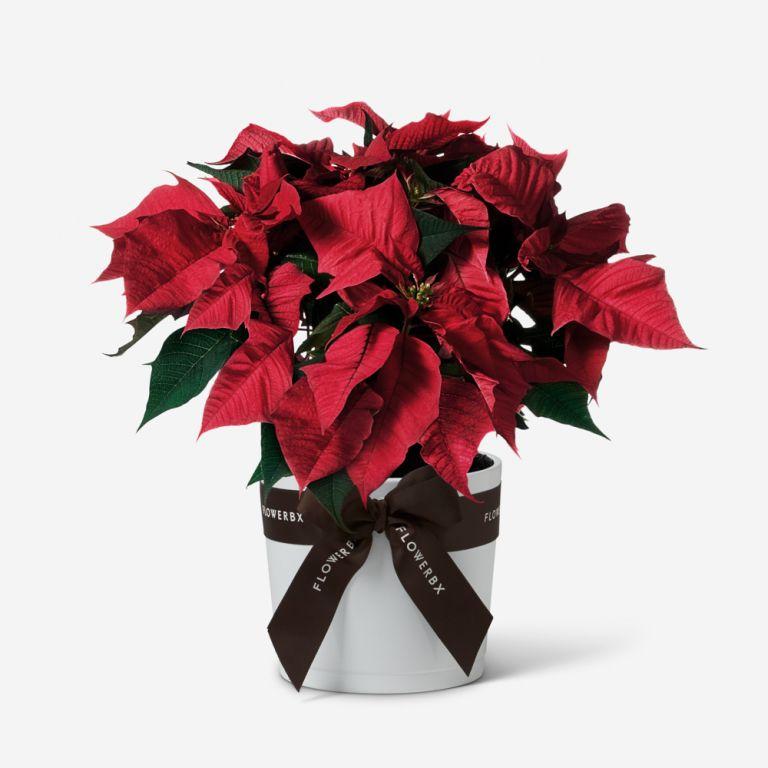 Christmas Poinsettia Plant Holiday Flowerbx
