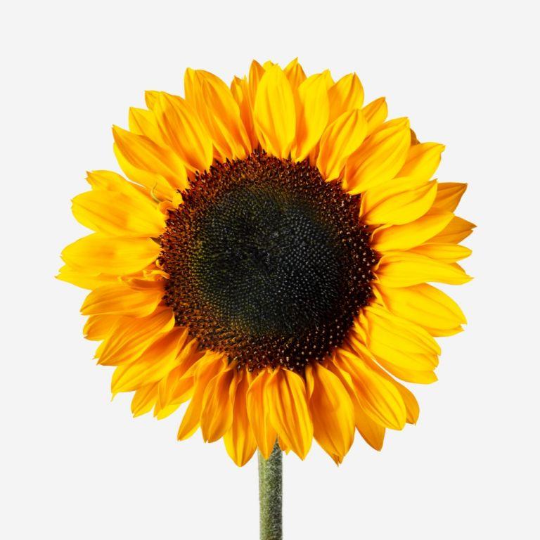 Apothecary Sunflower Vase Set