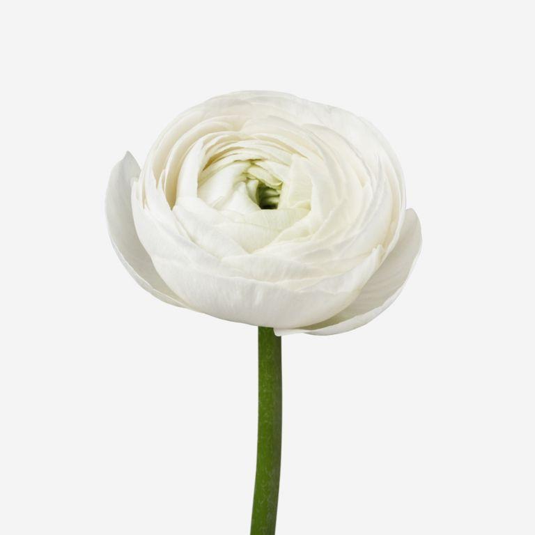 Porcelain Petit Ranunculus