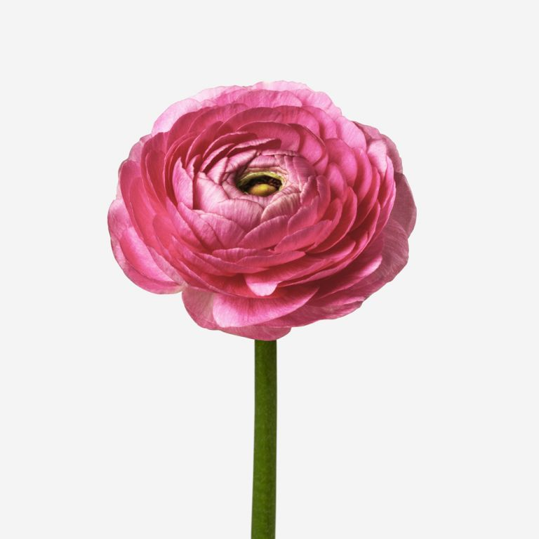 Pucker Up Petit Ranunculus