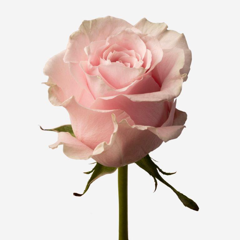 Pink Mondial Rose
