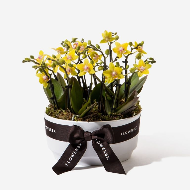 Lemon Drop Mini Orchid Planter