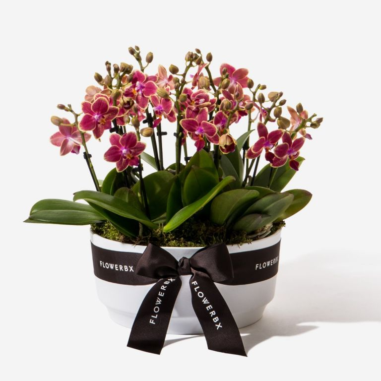 Rhubarb and Custard Mini Orchid Planter