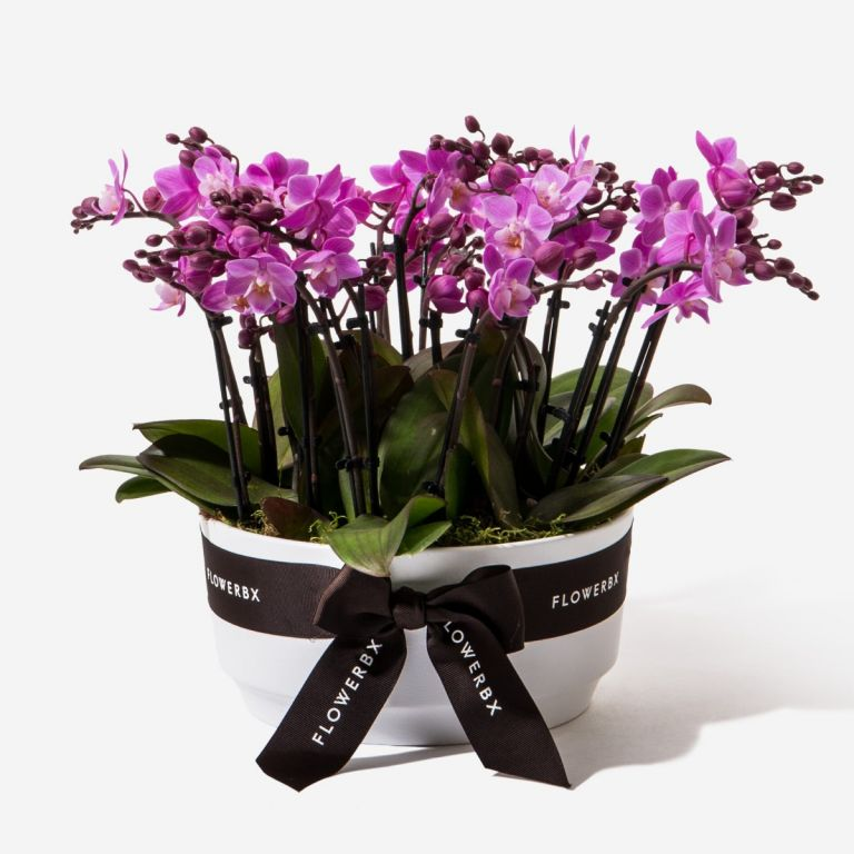 Shock Me Pink Mini Orchid Planter