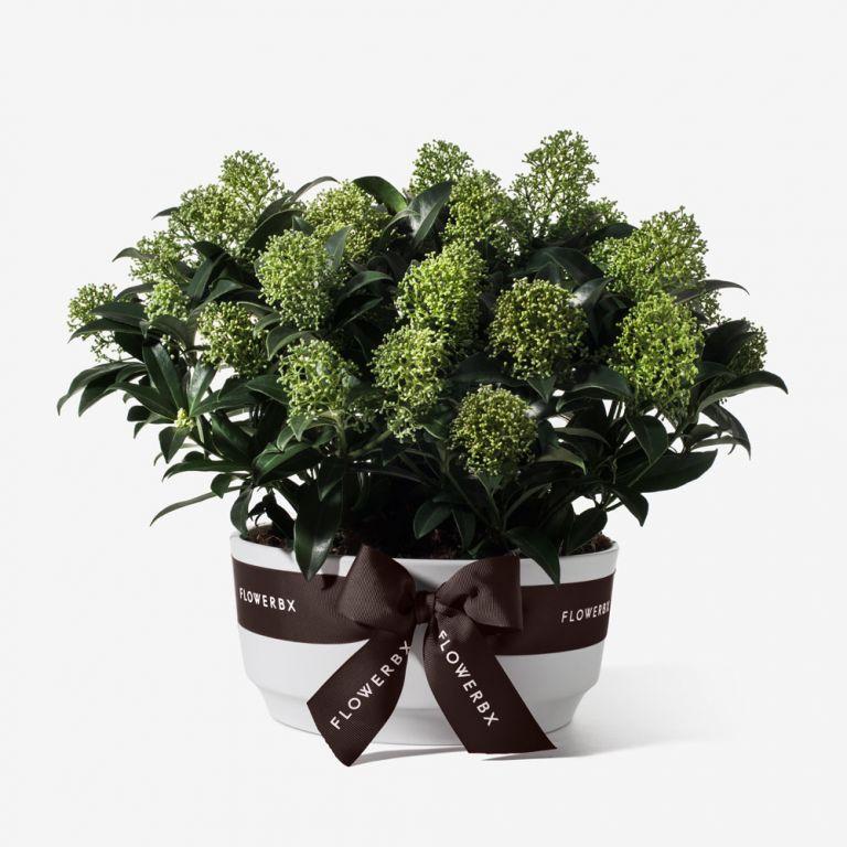 Potted Skimmia Planter