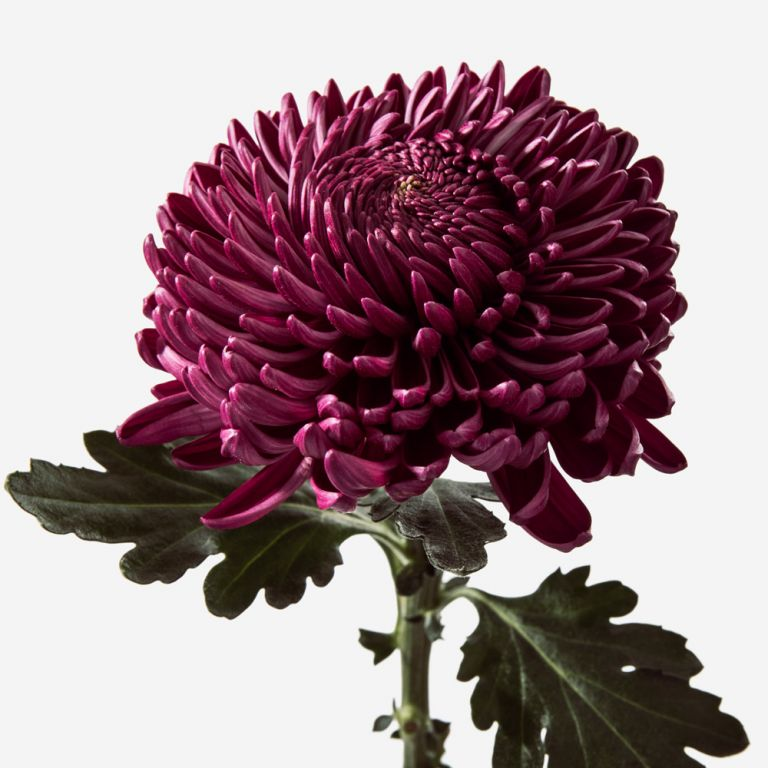 Berry Chrysanthemum