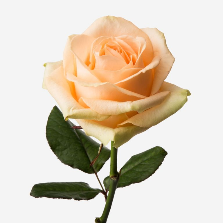 Peach Avalanche Rose