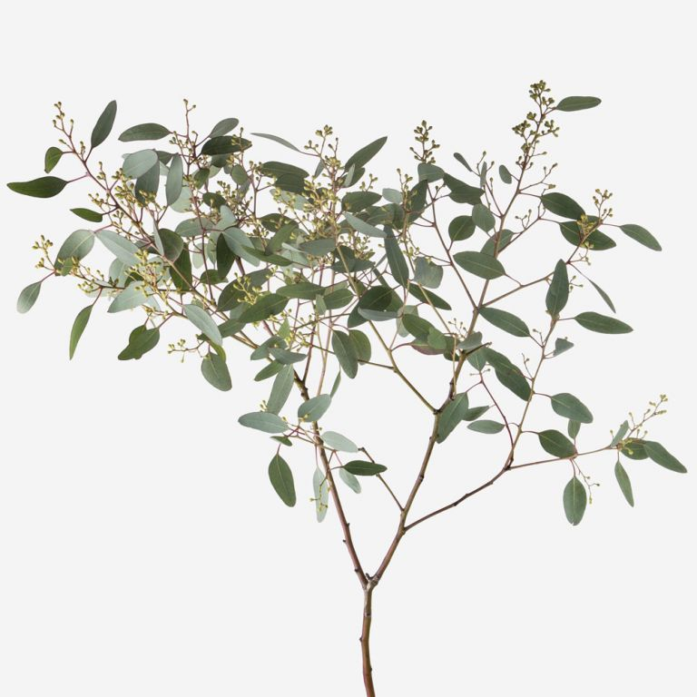 Seeded eucalyptus populous Foliage