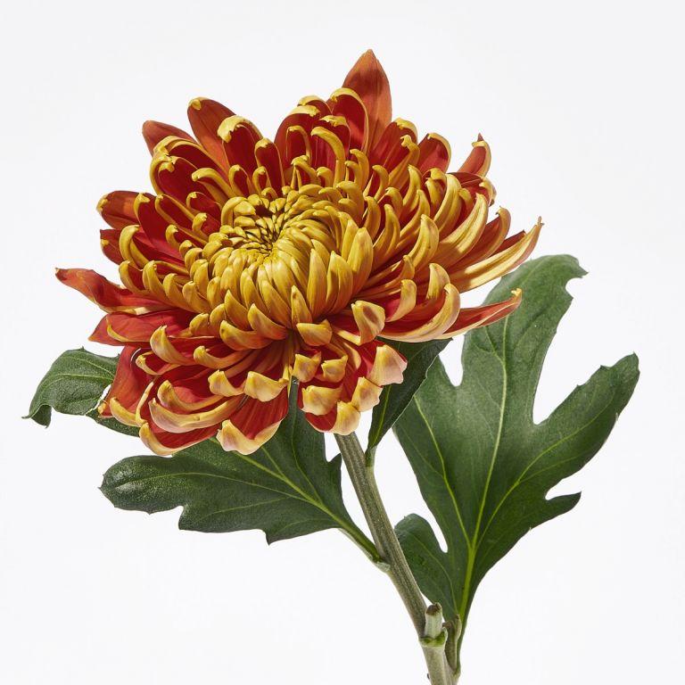 Fuego Chrysanthemum