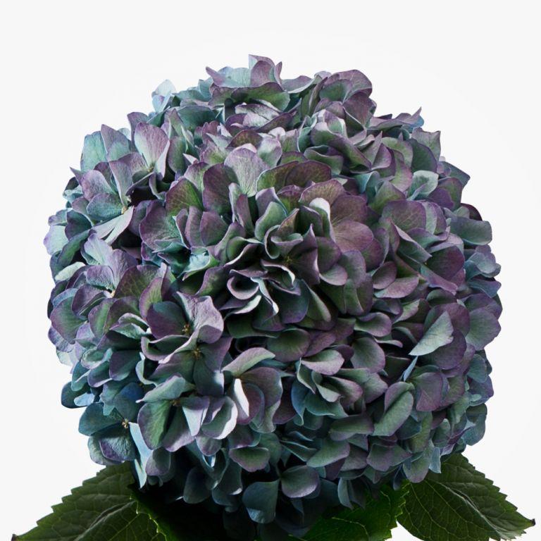 Sage Blush Hydrangea