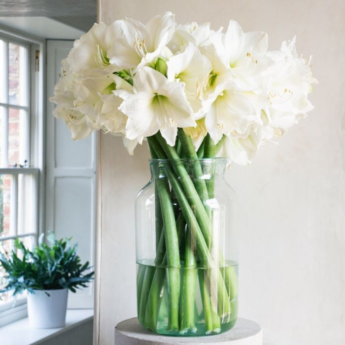 Egg Shell Amaryllis