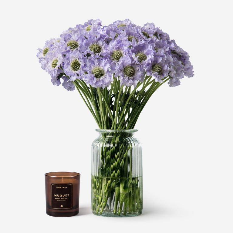 Lavender Mist Scabiosa
