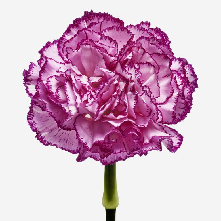 Raspberry Ripple Carnation