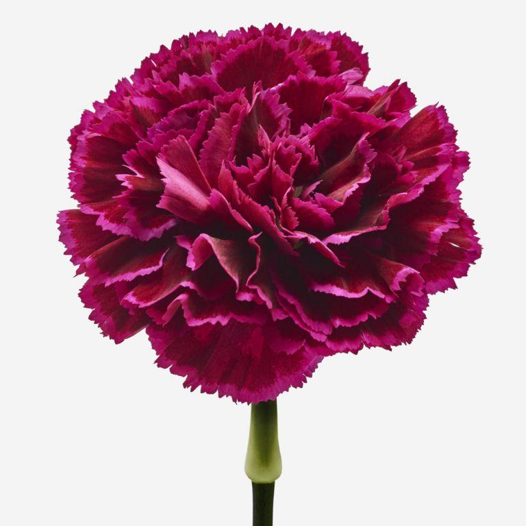 Lip Locked Carnation