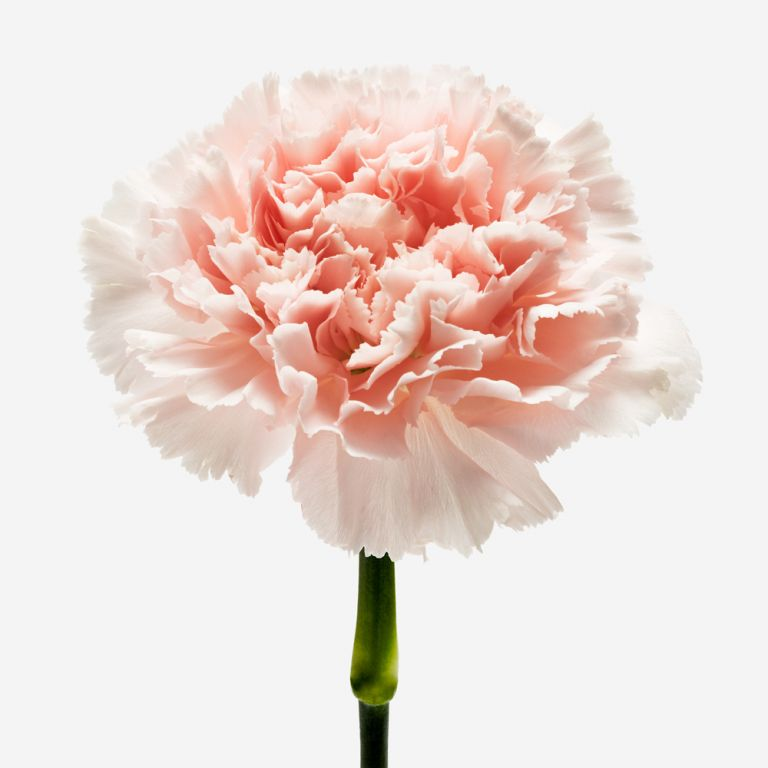 Seashell Carnation